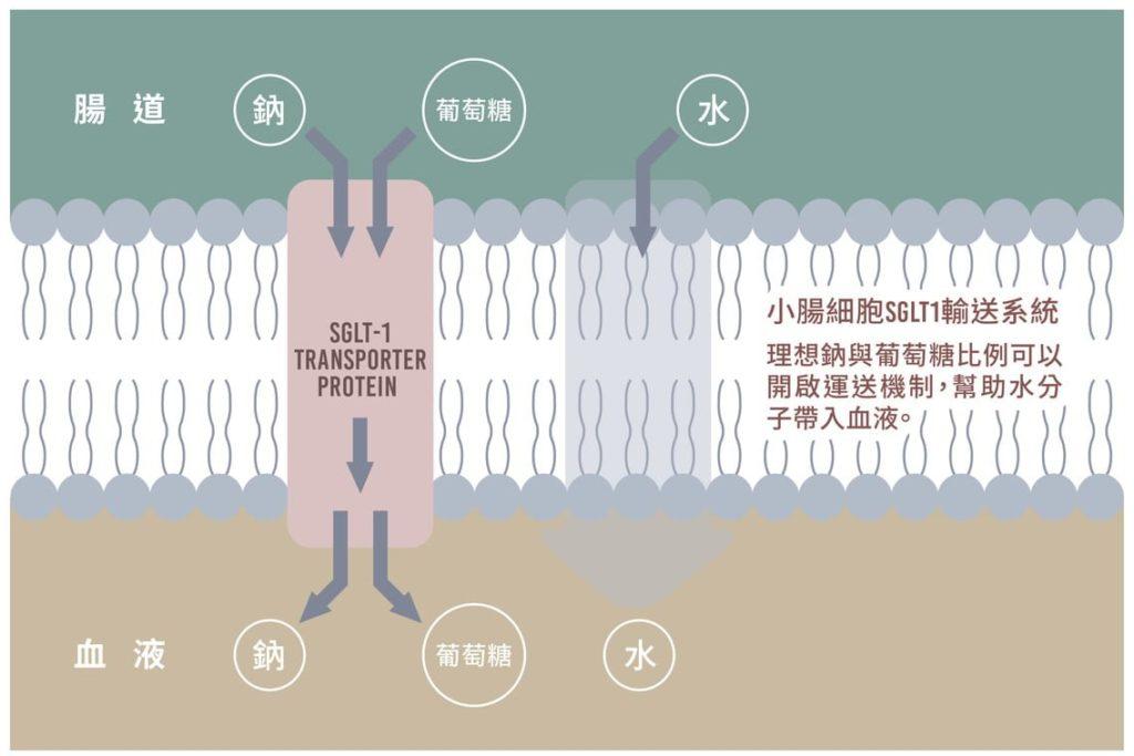 鈉依賴型葡萄糖共同運輸蛋白(Sodium-dependent glucose cotransporters,簡稱SGLT)